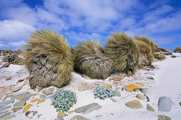 Tussock Grass on Sea Lion Island, Falkland Islands:スマホ壁紙(壁紙.com)