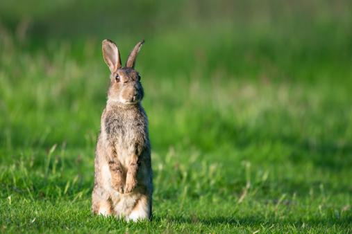 Rabbit「Rabbit on alert」:スマホ壁紙(19)