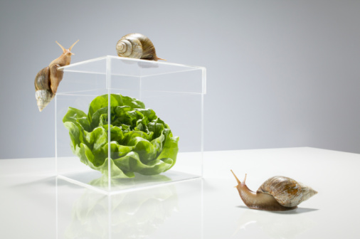 Threats「Lettuce in transparent box surrounded by snails」:スマホ壁紙(17)