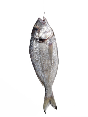 Sea Bream「Bream fish」:スマホ壁紙(14)