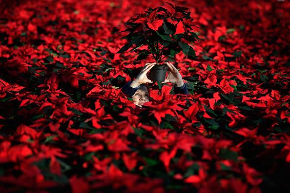 Christmas「Christmas Poinsettias Ready For Sale」:写真・画像(13)[壁紙.com]