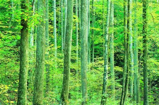 Hardwood Tree「Mixed Hardwood Trees, Great Smoky Mountains National Park, USA」:スマホ壁紙(17)