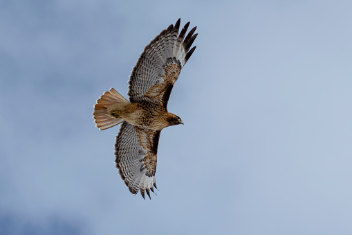 Hawk - Bird「Red-tailed hawk (Buteo jamaicensis) in flight, Klamath Basin National Wildlife Refuge」:スマホ壁紙(12)
