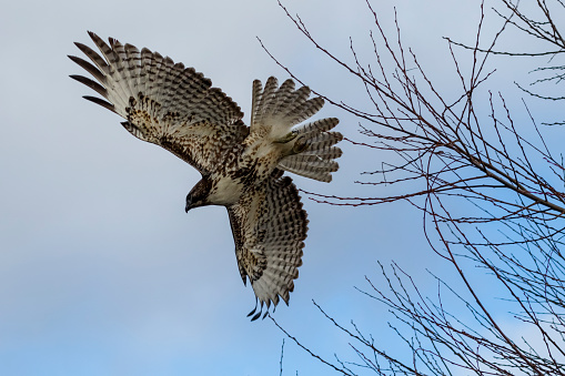 Hawk - Bird「Red-tailed hawk (Buteo jamaicensis) in flight, Klamath Basin National Wildlife Refuge」:スマホ壁紙(10)