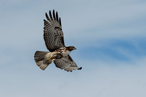 Hawk - Bird「Red-tailed hawk (Buteo jamaicensis) in flight, Klamath Basin National Wildlife Refuge」:スマホ壁紙(11)