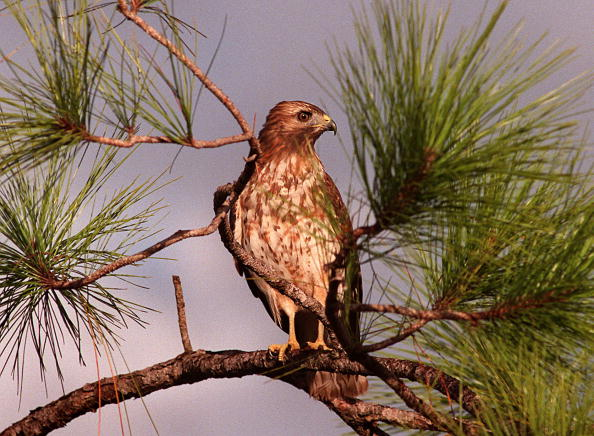 Sea World - Florida「A Red-Tailed Hawk in the Everglades」:写真・画像(15)[壁紙.com]