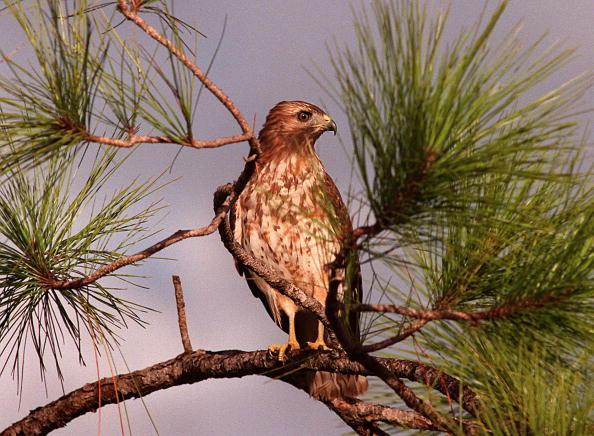 Hawk - Bird「A Red-Tailed Hawk in the Everglades」:写真・画像(0)[壁紙.com]