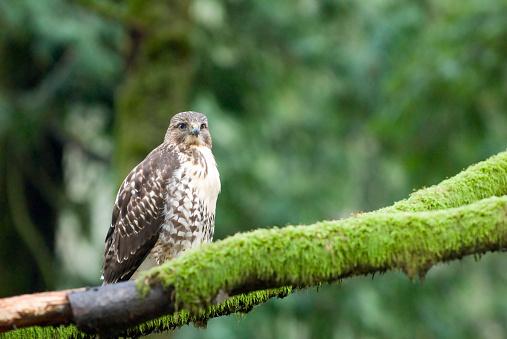 Hawk - Bird「A Red-Tailed Hawk (Buteo Jamaicensis) Sits On A Branch, Goldstream Provincial Park Near Victoria, Bc, Canada」:スマホ壁紙(4)