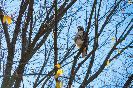 Hawk - Bird「A Red-Tailed Hawk stays at desolate autumn tree under the blue sky at Central Park New York NY USA on Nov. 04 2018.」:スマホ壁紙(15)