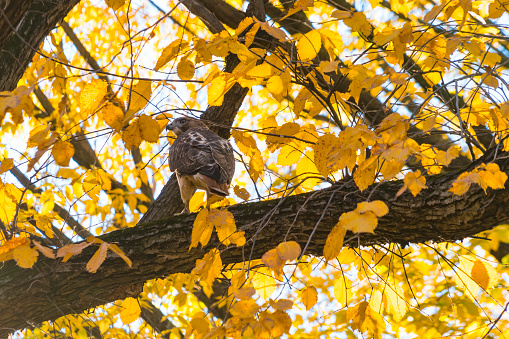 Hawk - Bird「A Red-Tailed Hawk stays at among the autumn color leaves at Central Park New York NY USA on Nov. 04 2018.」:スマホ壁紙(11)