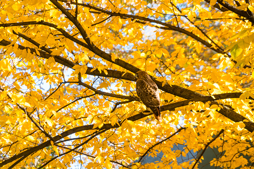 Hawk - Bird「A Red-Tailed Hawk stays at among the autumn color leaves at Central Park New York NY USA on Nov. 04 2018.」:スマホ壁紙(18)