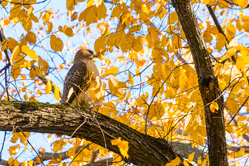 Hawk - Bird「A Red-Tailed Hawk stays at among the autumn color leaves at Central Park New York NY USA on Nov. 04 2018.」:スマホ壁紙(19)