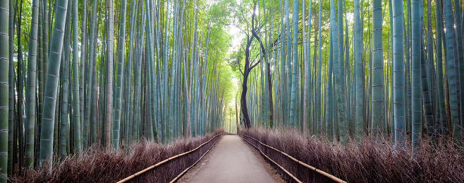 成長「Japan, Kyoto, Arashiyama bamboo forest at sunrise」:スマホ壁紙(18)