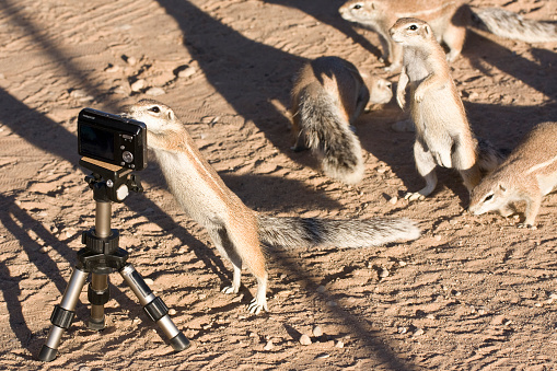 Squirrel「Cape ground squirrel, Xerus inauris, Kgalagadi Transfrontier Park, Northern Cape, South Africa, Kgalagadi District, Botswana」:スマホ壁紙(2)