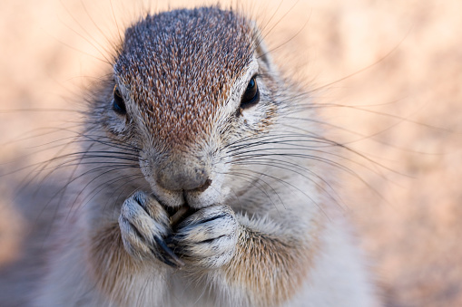Squirrel「Cape ground squirrel, Xerus inauris, Kgalagadi Transfrontier Park, Northern Cape, South Africa, Kgalagadi District, Botswana」:スマホ壁紙(1)