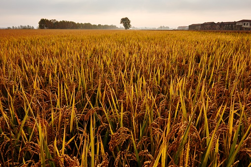 Piedmont - Italy「Rice Fields in Northern Italy」:スマホ壁紙(18)