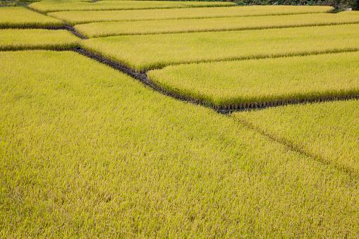 Japan「Rice fields」:スマホ壁紙(19)