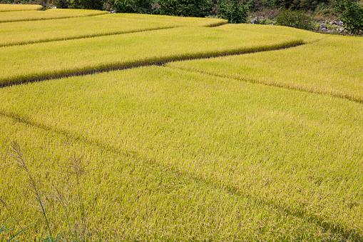 Japan「Rice fields」:スマホ壁紙(18)