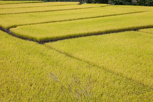Japan「Rice fields」:スマホ壁紙(2)