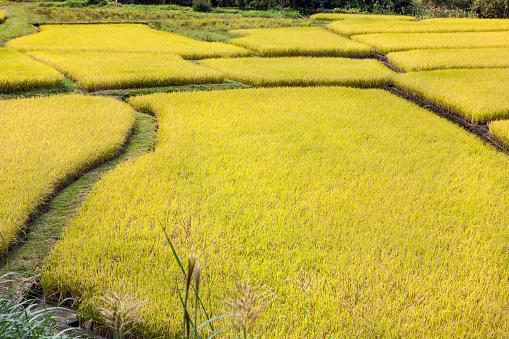 Japan「Rice fields」:スマホ壁紙(17)