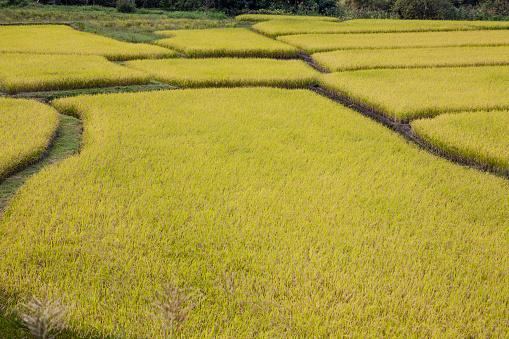 Japan「Rice fields」:スマホ壁紙(16)