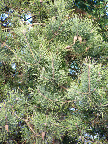 Needle - Plant Part「pine branches with cones」:スマホ壁紙(5)