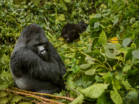 Frowning「The adult silverback mountain gorillas is resting on leaves.」:スマホ壁紙(15)
