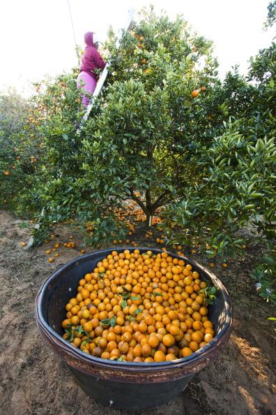 Grove「Cold Temperatures Continue To Endanger Florida Citrus Crops」:写真・画像(12)[壁紙.com]