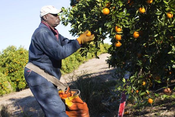 Grove「Florida Citrus Crops Endangered By U.S. Cold Snap」:写真・画像(2)[壁紙.com]