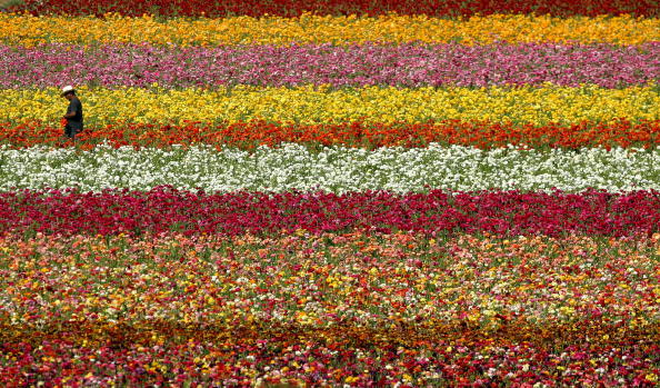 Agricultural Field「Sea Of Color Spreads Out At Flower Fields Of Carlsbad Ranch」:写真・画像(11)[壁紙.com]