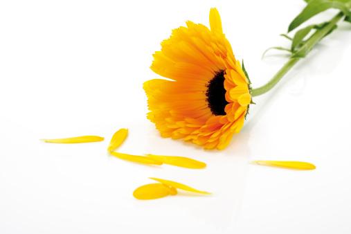 Pot Marigold「Marigold flower, (Calendula Officinalis), close-up」:スマホ壁紙(13)