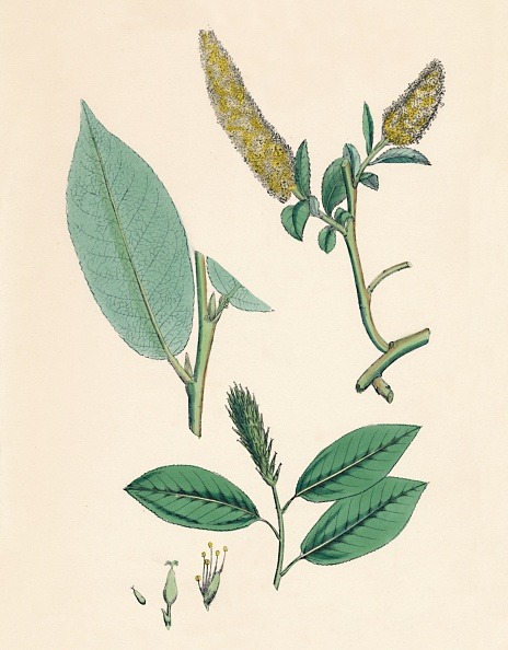 Bay Leaf「Salix Pentandra. Bay-Leaved Willow」:写真・画像(0)[壁紙.com]
