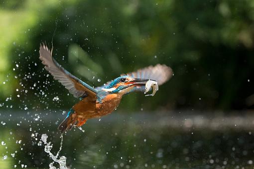 Animals Hunting「Kingfisher in flight with fish (Alcsdo atthis)」:スマホ壁紙(13)