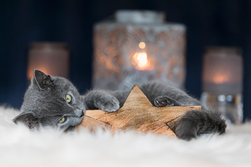 Kitten「Chartreux kitten playing with Christmas decoration」:スマホ壁紙(11)