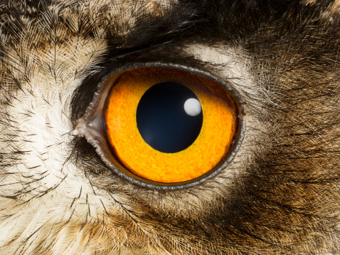 Watching「Eye of an Eagle Owl, close up」:スマホ壁紙(11)