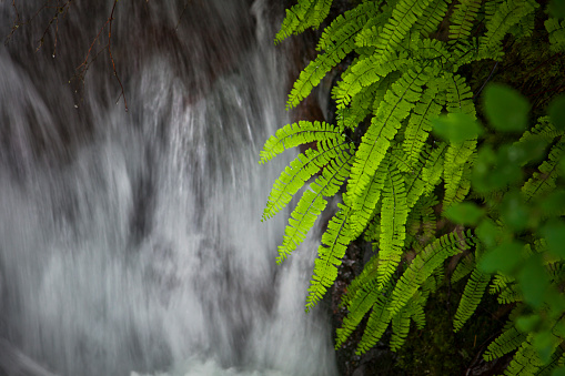 Columbia Gorge National Scenic Area「Lush ferns line the riparian area beside a small creek in the Columbia River Gorge National Scenic Area.」:スマホ壁紙(3)
