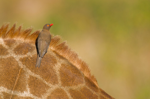 A Helping Hand「Red Billed Oxpecker (Buphagus erythrorhynchus) on giraffe (Giraffa camelopardalis). Hluhluwe-Umfolozi Game Reserve, KwaZulu-Natal Province, South Africa」:スマホ壁紙(15)