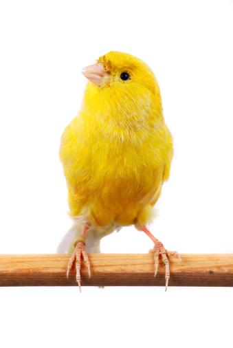 Bird「Maltese Canary」:スマホ壁紙(9)