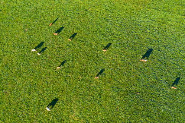 Germany, Upper Bavaria, Aerial view of cows on pasture near Muensing:スマホ壁紙(壁紙.com)
