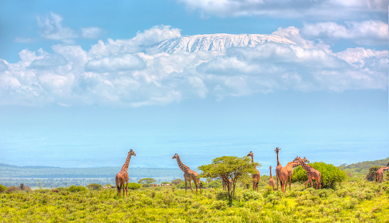 Giraffe「Giraffes at Amboseli with Kilimanjaro and Acacia Trees」:スマホ壁紙(2)