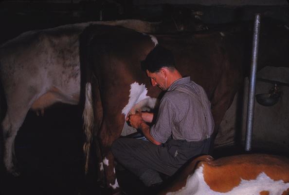 Animal Body Part「Mliking Cattle」:写真・画像(1)[壁紙.com]