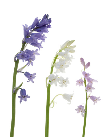 Bluebell「Row of bluebells, blue, white and pink, on white.」:スマホ壁紙(4)
