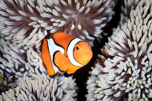カクレクマノミ「A false anemonefish (Amphiprion ocellaris) swims among the tentacles of its host anemone.」:スマホ壁紙(4)
