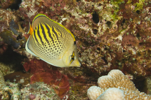 Butterflyfish「Australia, Great Barrier Reef, Dot and Dash Butterflyfish on reef」:スマホ壁紙(16)
