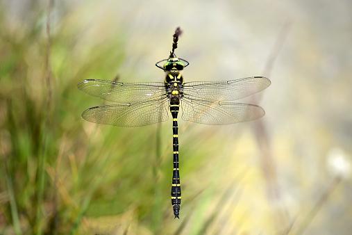 とんぼ「England, Golden-ringed Dragonfly, Cordulegaster boltonii」:スマホ壁紙(6)