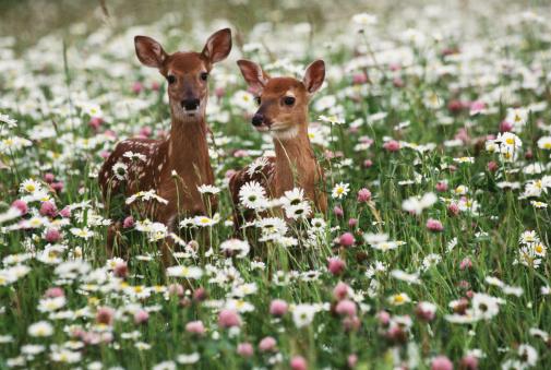 Blossom「Baby deer ,fawns」:スマホ壁紙(11)