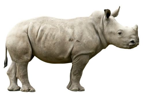 Rhinoceros「Young Rhino with clipping path on white background」:スマホ壁紙(3)
