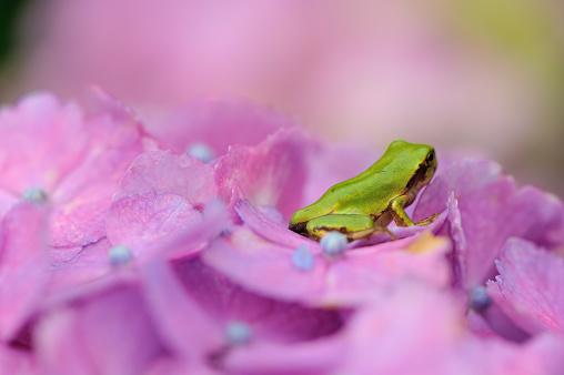 あじさい「Tree frog on hydrangea flower」:スマホ壁紙(8)