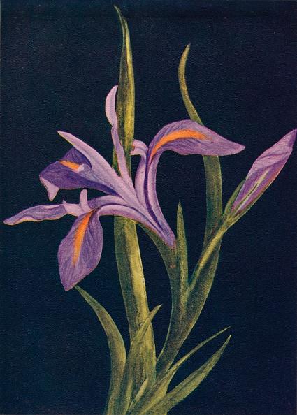 Uncultivated「Ground Iris,  c1915, (1915)」:写真・画像(11)[壁紙.com]