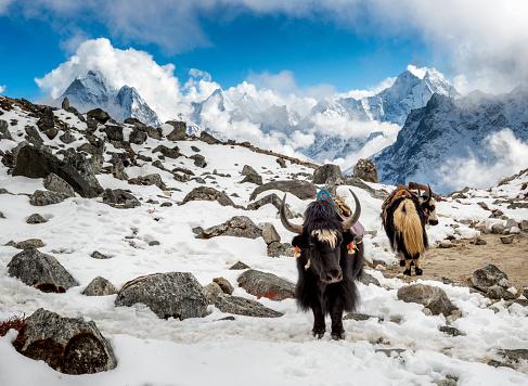 Yak「Nepal, Khumbu, Everest region, Yaks at Lobuche base camp」:スマホ壁紙(17)